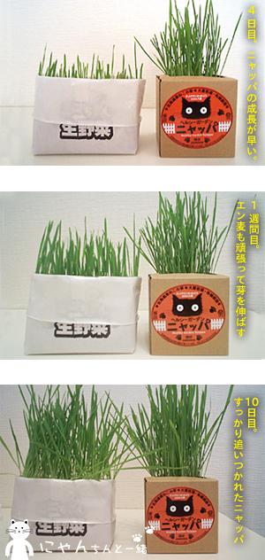 大麦若葉とエン麦の猫草_e0031853_9371469.jpg