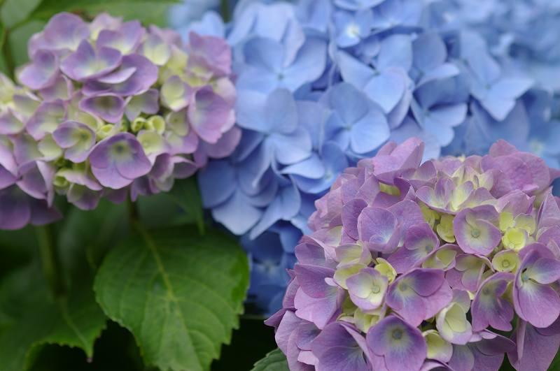紫陽花も真っ盛り~卯辰山_d0043136_2026727.jpg