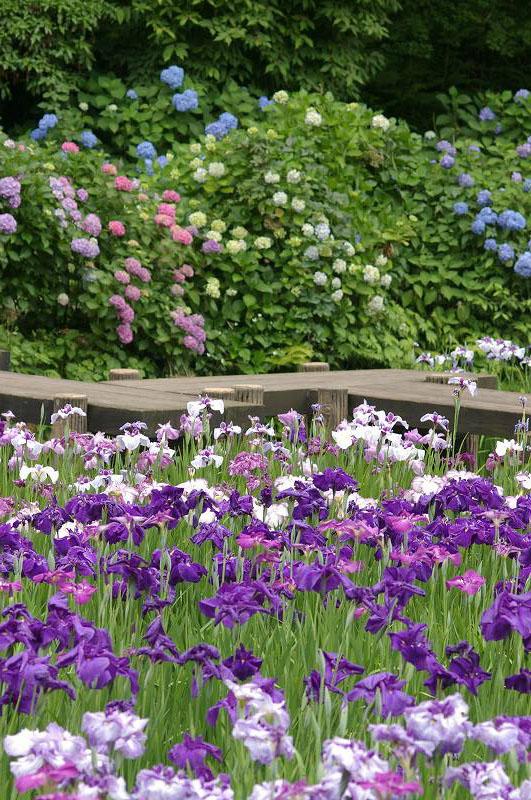 紫陽花も真っ盛り~卯辰山_d0043136_20281770.jpg