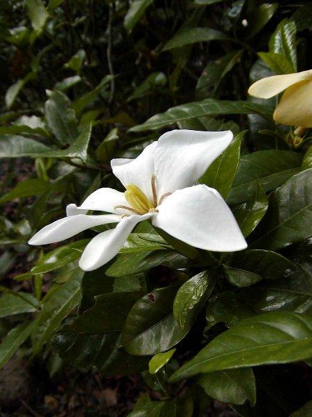 くちなしの白い花_c0057390_22235388.jpg