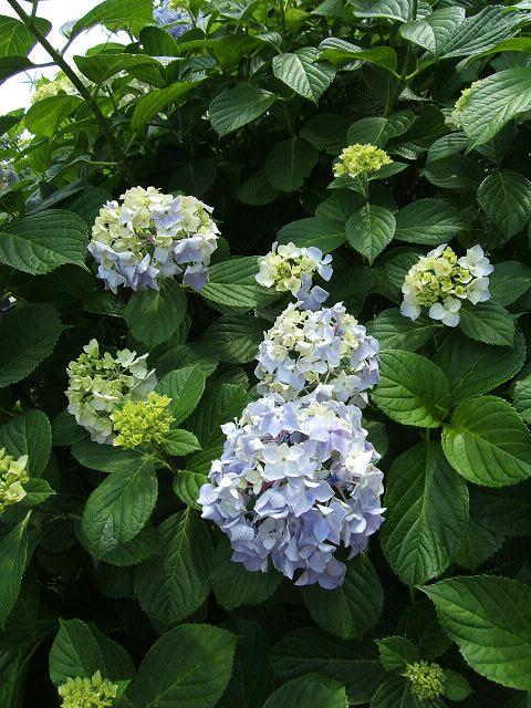 江ノ島の紫陽花_e0089232_21252883.jpg