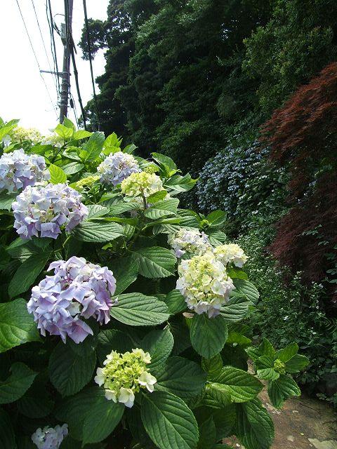江ノ島の紫陽花_e0089232_21255276.jpg