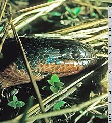 ★「カメレオン」の様に体色が変化する新種の毒ヘビ発見(゚゚;)_f0100060_7224836.jpg