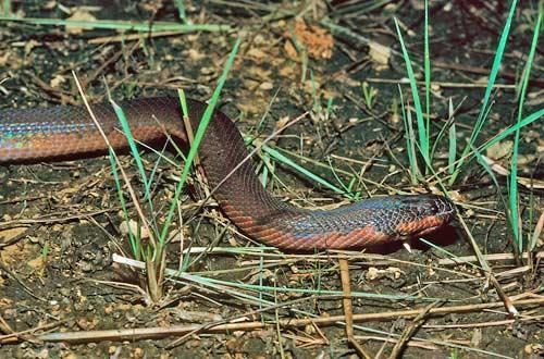★「カメレオン」の様に体色が変化する新種の毒ヘビ発見(゚゚;)_f0100060_88536.jpg