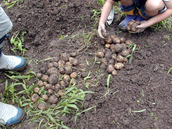 ジャガイモ収穫_c0057390_23452250.jpg