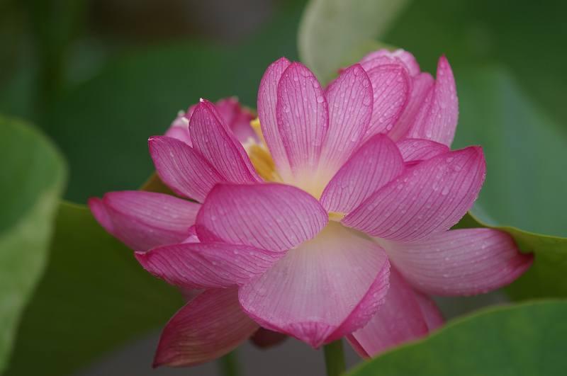 蓮の花ひらく~こなん水辺公園_d0043136_21493863.jpg