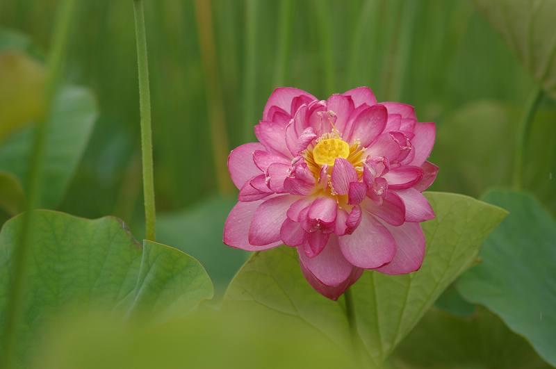 蓮の花ひらく~こなん水辺公園_d0043136_2343587.jpg