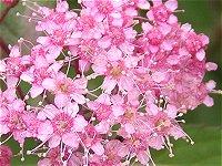 夏の花シモツケ_f0019247_1723250.jpg