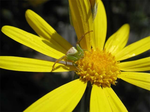 ユリオプス・デージーの花に黄緑色のきれいなクモがいました_b0025008_2274996.jpg