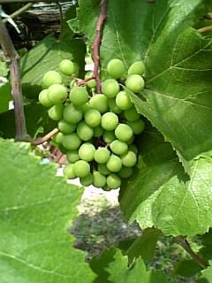 沼南ワイン用のベリーA_e0091322_2123646.jpg