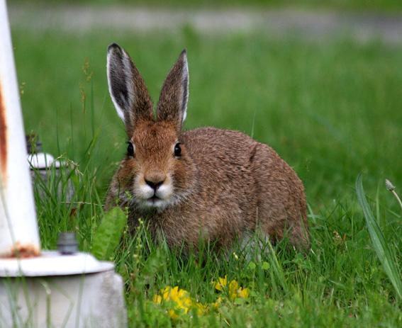 ☆職場の中庭に迷い込んできた野ウサギちゃん!7月7日曇り今日は一日曇り空... 7月の動物:7月