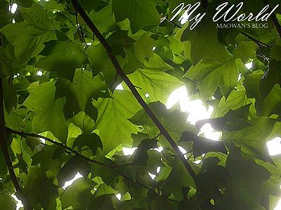 ユリノキ_f0096654_13454714.jpg