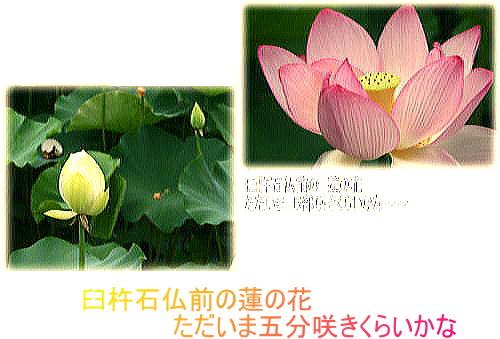 投稿写真 「臼杵石仏の蓮の花がきれいになってきました」_d0070316_10153514.jpg