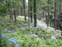 カチカチ山の紫陽花_f0019247_2328232.jpg