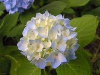 カチカチ山の紫陽花_f0019247_23304453.jpg