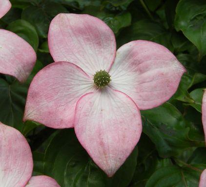 ハナミズキの花びら(総包・総苞)の謎が解けた_c0025115_20551942.jpg
