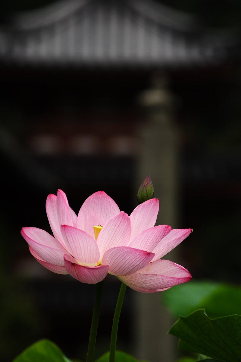 京都 宇治/三室戸寺 蓮 3_f0021869_1125235.jpg