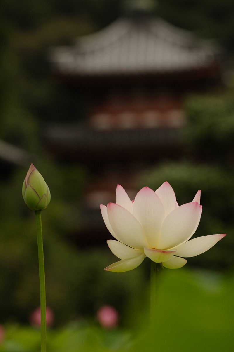 京都 宇治/三室戸寺 蓮 3_f0021869_112896.jpg