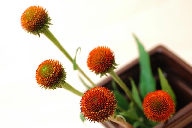 エキナセア パープレア オレンジ
