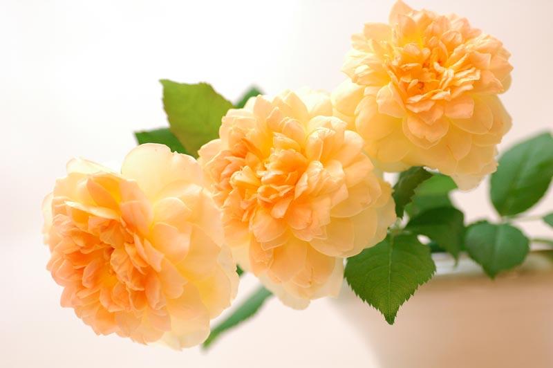 バラ トトロ オレンジ