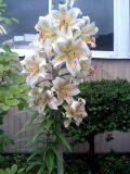今年も見事に咲きました。_d0027486_2372141.jpg