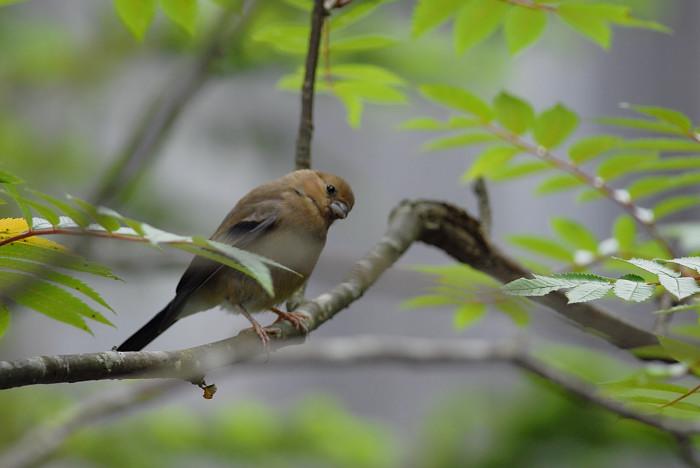 可愛い鳥さんですが   ☆編集 ウソの幼鳥_f0053272_1026713.jpg