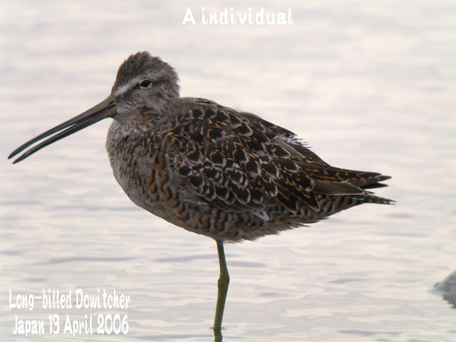 オオハシシギ 2 Long-billed Dowitcher_c0071489_0414513.jpg