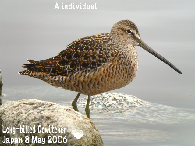 オオハシシギ 2 Long-billed Dowitcher_c0071489_0421332.jpg