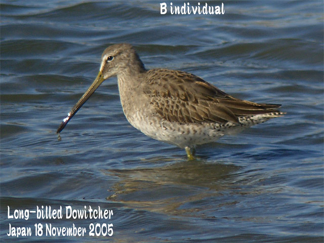 オオハシシギ 2 Long-billed Dowitcher_c0071489_11524739.jpg
