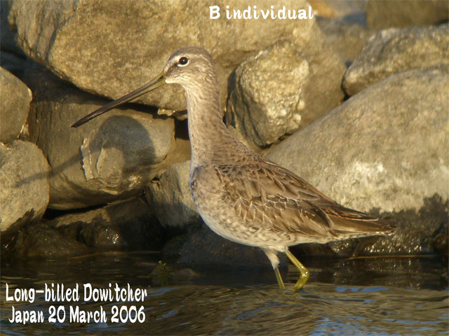 オオハシシギ 2 Long-billed Dowitcher_c0071489_11525631.jpg