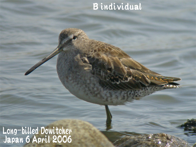 オオハシシギ 2 Long-billed Dowitcher_c0071489_1153165.jpg