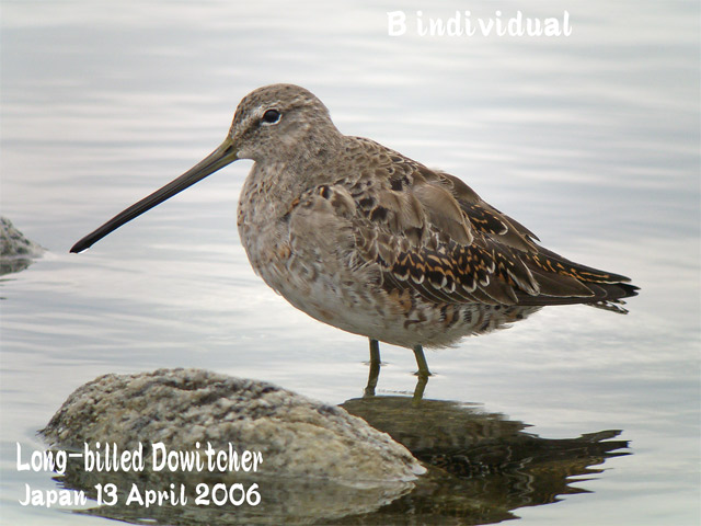 オオハシシギ 2 Long-billed Dowitcher_c0071489_115329100.jpg