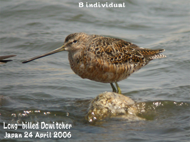 オオハシシギ 2 Long-billed Dowitcher_c0071489_11534057.jpg