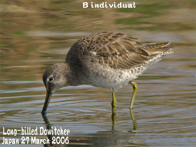 オオハシシギ 2 Long-billed Dowitcher_c0071489_1153471.jpg