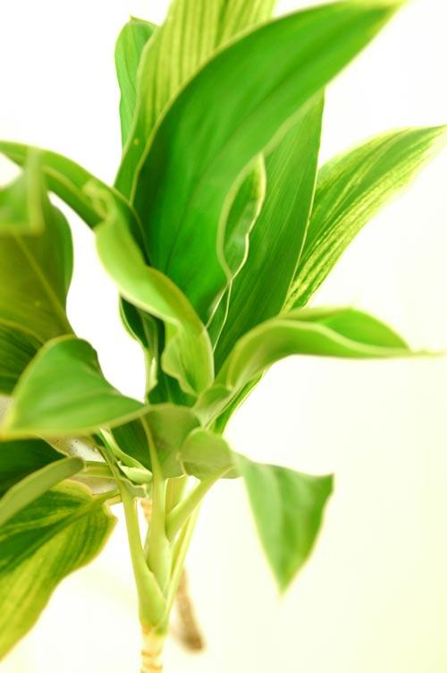 ドラセナ 白雲 緑