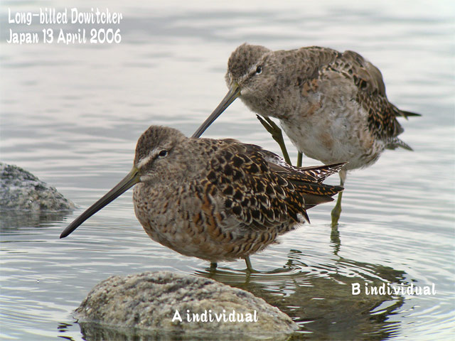 オオハシシギ 3 Long-billed Dowitcher_c0071489_10252636.jpg