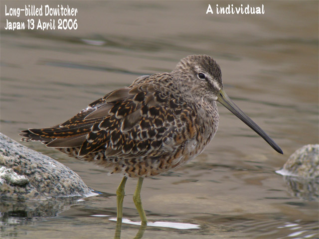 オオハシシギ 3 Long-billed Dowitcher_c0071489_2385737.jpg