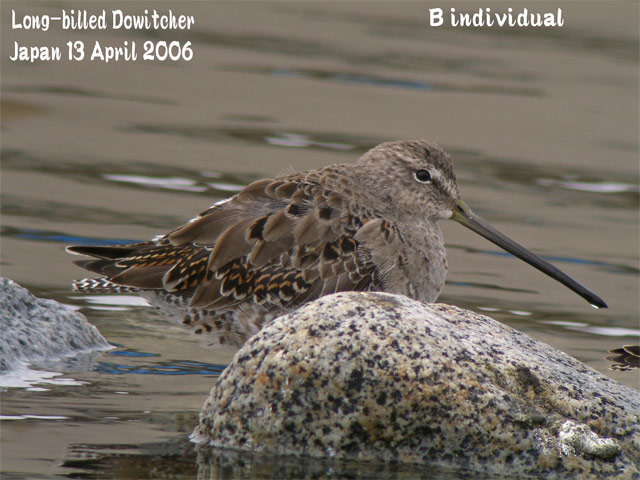 オオハシシギ 3 Long-billed Dowitcher_c0071489_2391054.jpg