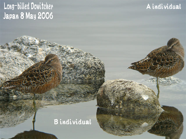 オオハシシギ 3 Long-billed Dowitcher_c0071489_7193752.jpg