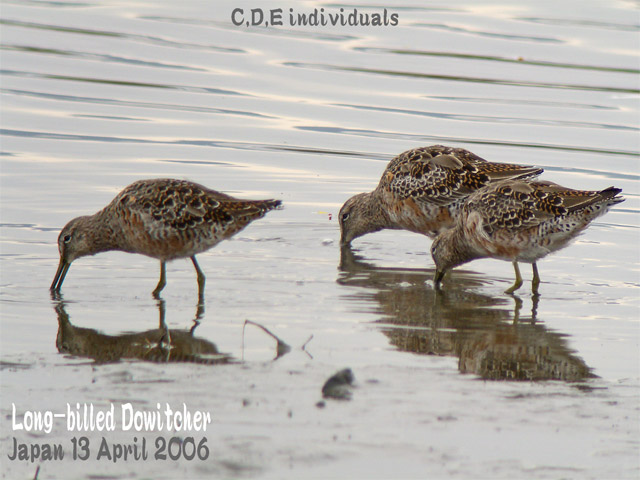 オオハシシギ 4 Long-billed Dowitcher_c0071489_0283593.jpg