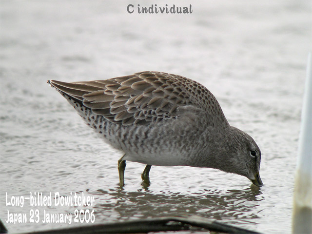 オオハシシギ 4 Long-billed Dowitcher_c0071489_06254.jpg