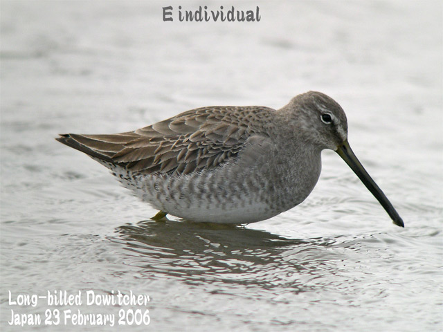 オオハシシギ 4 Long-billed Dowitcher_c0071489_064134.jpg