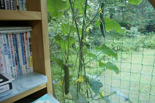 机から窓越しにキューリを見る_e0054299_1965562.jpg
