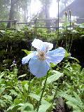 ヒマラヤの青いケシの花です♪_f0099147_14555516.jpg