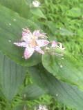 ホトトギスの花です♪_f0099147_22242877.jpg