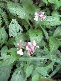 クサアジサイの花です♪_f0099147_22264429.jpg