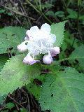 ギンバエソウの花です♪_f0099147_18274246.jpg