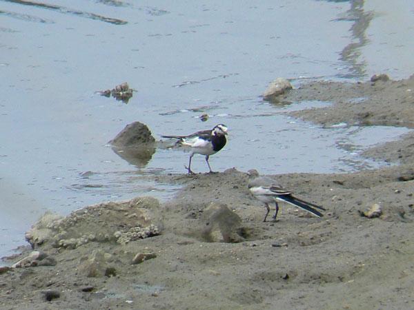 ハクセキレイの成鳥と幼鳥_e0088233_1063799.jpg