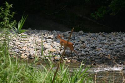 小鹿の訪問_a0072251_23474050.jpg