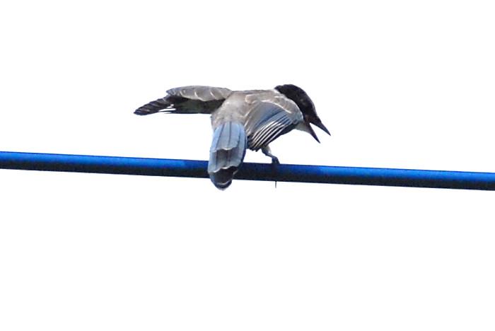 オナガ幼鳥_f0053272_10175357.jpg